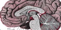 Anatomy of the Brain - Grays Anatomy